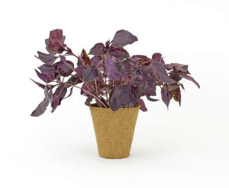 turba: Una planta de hierba de albahaca p�rpura en una olla de pl�ntulas de turba sobre un fondo blanco.  Foto de archivo
