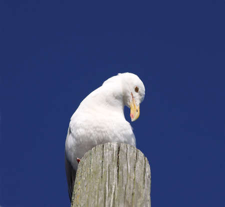 piling: An alert seagull eying the scene on a wood piling with brilliant blue sky in the background.