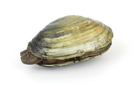 A soft-shell clam from a polluted mud flat on a white background.  The clam is virtually indistinguishable from a healthy clam. Stock Photo