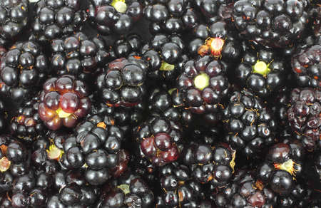 A close view of wild hand picked blackberries. photo