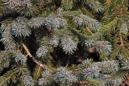 Close view of the tips of a Colorado blue spruce tree