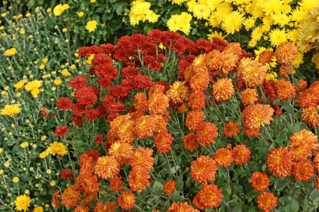 Several different colored hardy garden mums in bloom. Stock Photo