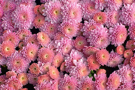 hardy: Large amount of colorful pink hardy garden mums.