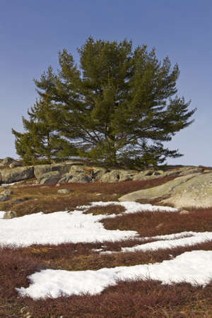 Early spring with snow melting off a blueberry field in Maine with rock ledges and a scrub tree against a blue sky. Stok Fotoğraf