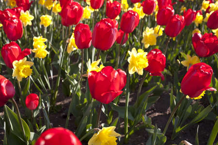 Several yellow daffodils and red tulips in a flowerbed  photo