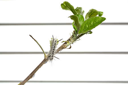 diseased: A single black and white hickory tussock caterpillar eating an apple tree leaf with white vinyl siding blurred in the background