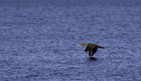 skimming: A single cormorant flying very close to the surface of the ocean
