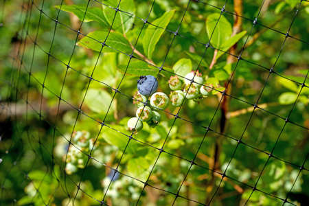 mesh: A black protective mesh covering blueberries from animals and birds
