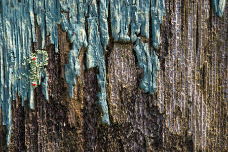 Close view of a piece of wood siding with peeling paint and lichen that is rotting from exposure