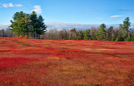 blueberry bushes: A large field of blueberry bushes as their leaves turn red in the very late fall with a distant forest in the background