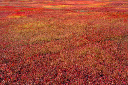 blueberry bushes: A large field of blueberry bushes as their leaves turn red in the very late fall  Stock Photo