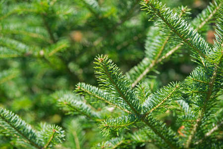 A close view of a balsam fir tree tip