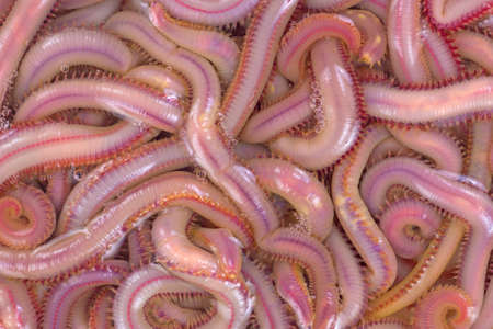 A close view of bloodworms in salt water.