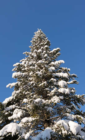 boughs: The boughs of a fir tree weighted down with fresh snow against a blue sky.