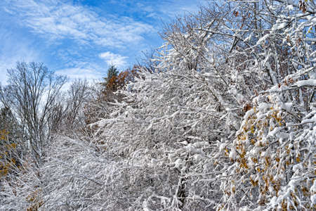 Rows of leafless branches covered with snow after a snowstorm. photo
