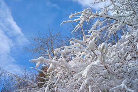 White fluffy snow covering thin branches of a tree with a bright blue sky  photo