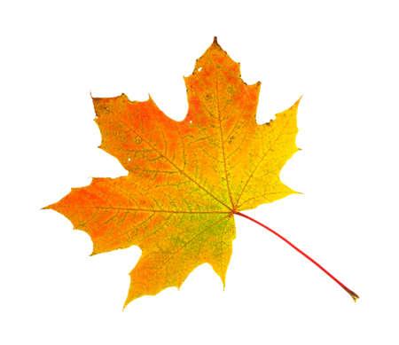 hued: A fall hued maple leaf on a white background.