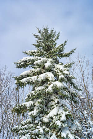 The branches of a large fir tree covered with snow after an early season snowstorm in Bangor, Maine. photo