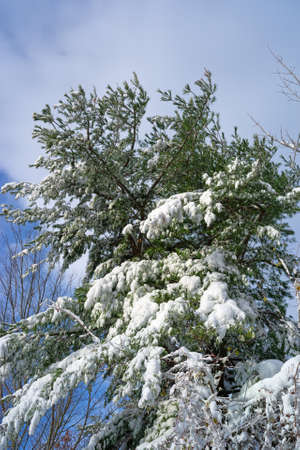 laden: Snow laden branches of a fir tree after an early season snowstorm in Bangor, Maine. Stock Photo