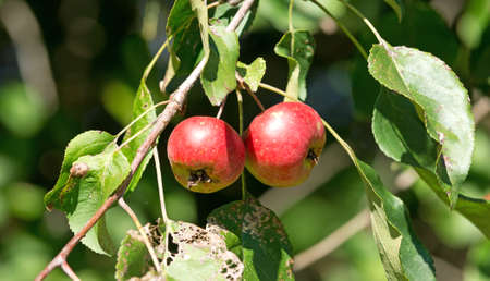 chewed: Two wild apples on a branch with insect chewed leaves.
