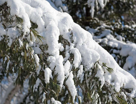 Close view of a snow covered pine bough after a snow storm. Stock Photo