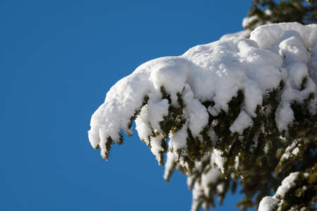 laden: A heavily laden with snow fir tree bough after a snowstorm with a blue sky in the background.