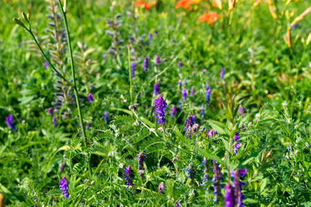 lupines: Several purple lupines in dense foliage with other flowers in the background. Stock Photo
