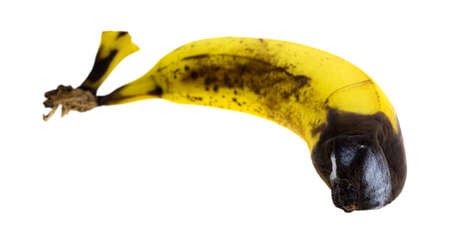 rotting: A rotting banana with mold isolated on a white background. Stock Photo