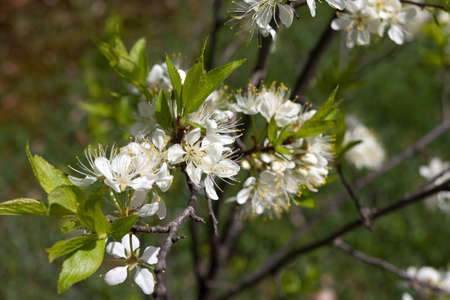 apple blossom: Close view of spring apple blooms from a dwarf apple tree in a home garden.