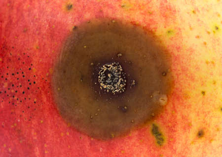 bad apple: Close view of a bad spot on an organic wild apple.