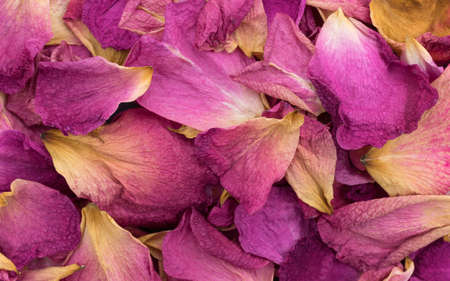 pinks: Very close view of rose petals withering and dying. Stock Photo