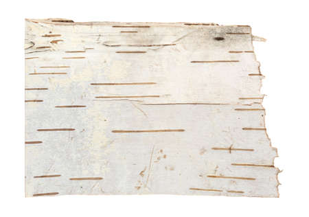 white birch tree: Bark of a white birch tree isolated on a background.
