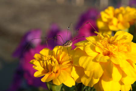 longlegs: A large daddy long-legs spider on a yellow marigold with dew on one leg. Stock Photo