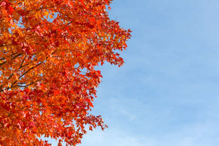 wispy: Fall foliage red maple tree leaves against a blue sky with wispy clouds. Stock Photo