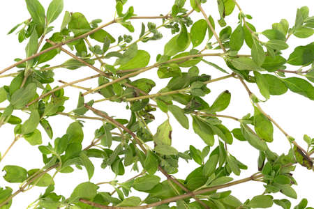 Verschillende takken van organische marjolein op een witte achtergrond. Stockfoto