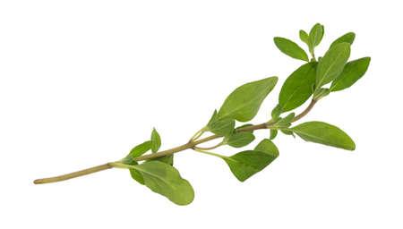 Een enkele tak van organische marjolein geïsoleerd op een witte achtergrond. Stockfoto