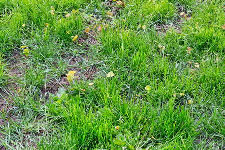 Green lawn that is not mowed with small oak trees growing among patches of dirt. Banco de Imagens