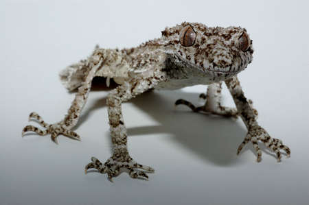 Leaf Tailed Gecko in lightbox