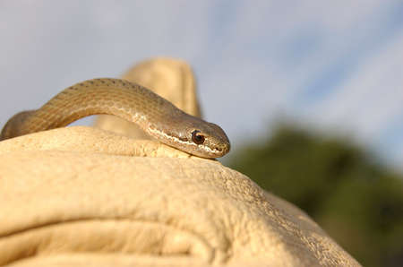 White Lipped Snake sitting on gloved hand Stock Photo