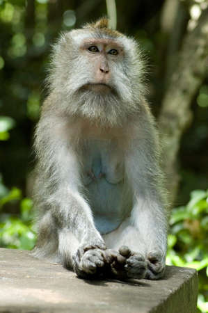 Monkey sitting in forest in meditative position. Stock Photo
