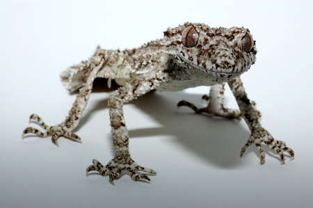 Leaf Tailed Gecko isolated by white
