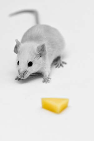 Mouse isolated by white looking at cheese