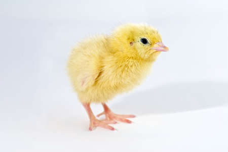 chicken isolated by white