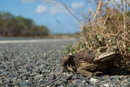 Cane toad sitting on roadside, dead toad burned from bushfire