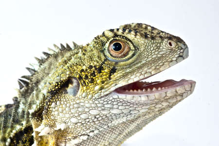 Water dragon looking up with isolating white background Stock Photo - 3159073