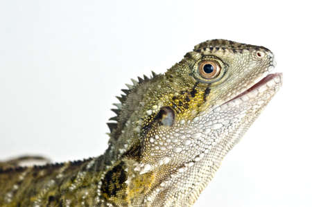 Water Dragon standing in lightbox with isolating white background