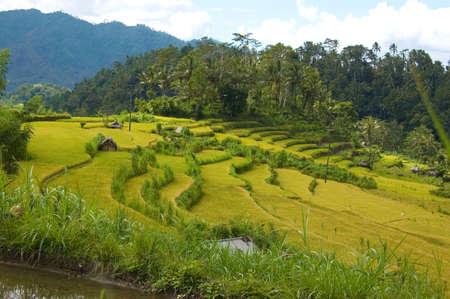 Rice fields in Bali Stock Photo - 3159083