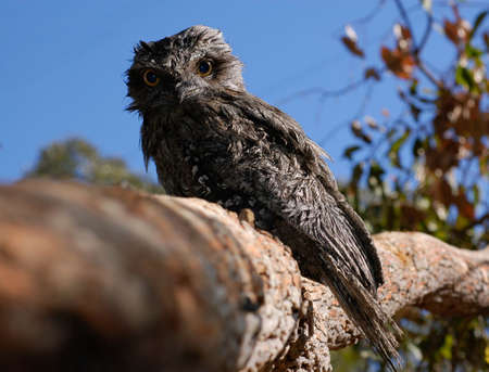 Tawny Frogmouth sitting on log showing depth of field Stock Photo