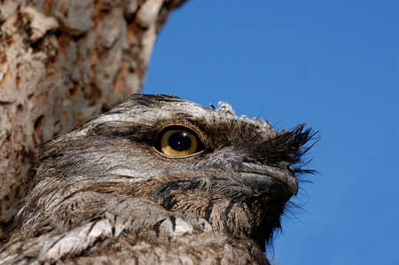 Tawny Frogmouth close up with blue isolating background Stock Photo