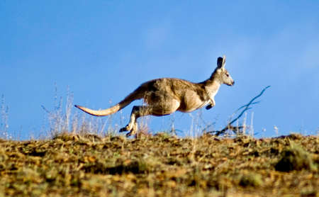 australia farm: Kangaroo Jumping over horizon